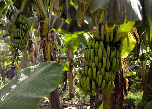 У світі вже почали закриватися бананові плантації через новий різновид грунтового гриба, який не піддається знищенню за допомогою хімікатів.
