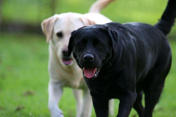 Дослідження, проведене вченими з Японії, підтвердило здатність собак «діагностувати» онкологічне захворювання у людини. «Ці тварини можуть істотно доп