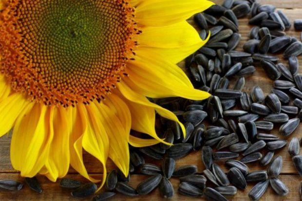 У насінні міститься велика кількість вітамінів, амінокислот, мінералів, рослинного білка. Всі ці речовини корисні для нашого організму, але і врахуват