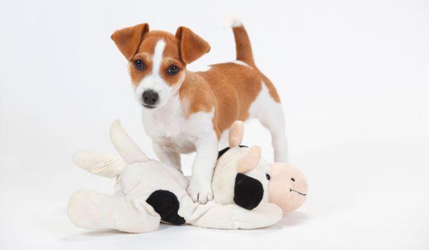 Фахівці Корейського університету виявили здатність пташиного і свинячого грипу мутувати в організмі собаки і передаватися людині від домашнього улюбле