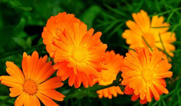 Календула - це лікарська рослина. Цвіте вона красивими оранжево-жовтими квітами, і крім того, що її застосовують у лікувальних цілях, вона широко поши