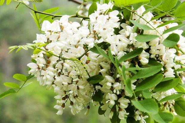 Акація біла допомагає лікувати багато захворювань.