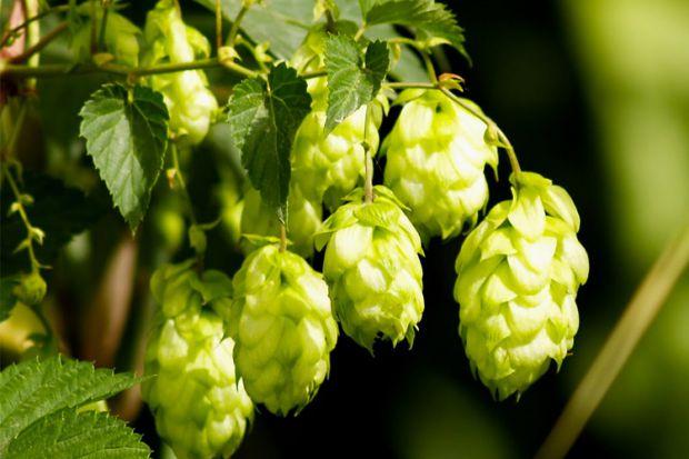 Хміль - найвища трав'яниста рослина в Україні. Вирощують хміль для пивоварної промисловості. Крім того, його використовують у медицині, фармацевтичній