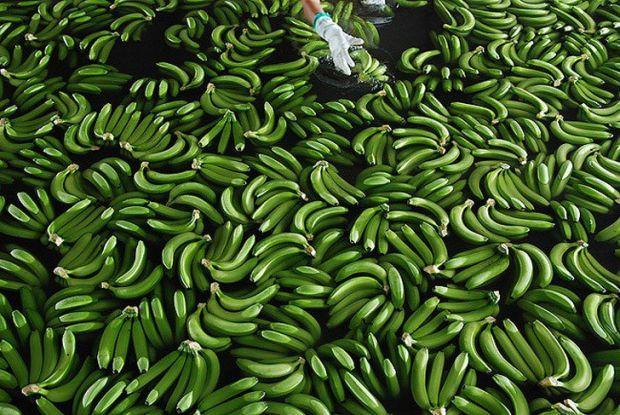3755_zeleni_banani.jpeg (87.3 Kb)