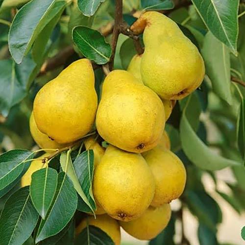 Сирі фрукти не рекомендується вживати людям похилого віку, а також людям із захворюваннями нервової системи, органів травлення.