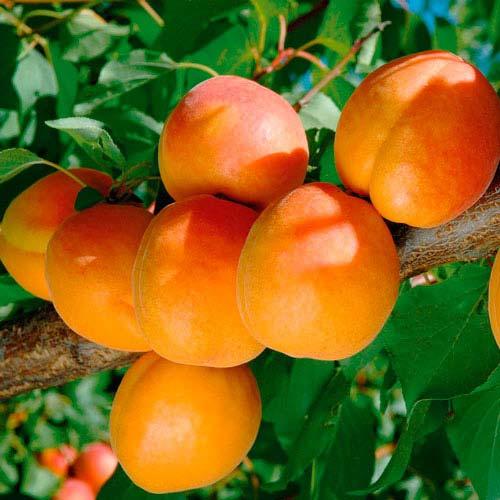 Для підтримки нормальної роботи печінки необхідно щодня їсти корисні продукти, особливо фрукти оранжевого і червоного кольору.