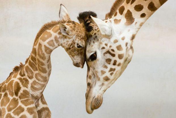 Тваринки, які навчать бути хорошими батьками.Батьківська любов не знає меж - ця проста істина однаково справедлива як для людей, так і для братів наши