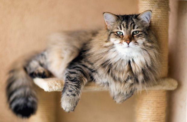 Кішки мають дуже сильну ауру, що доведено спеціальною апаратурою. Вони своєю присутністю в будинку приносять людині безліч позитивних моментів, які са