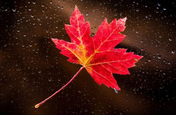 Листя червоного клена приховує дивовижну речовину, яка виробляє омолоджуючий ефект на шкіру.