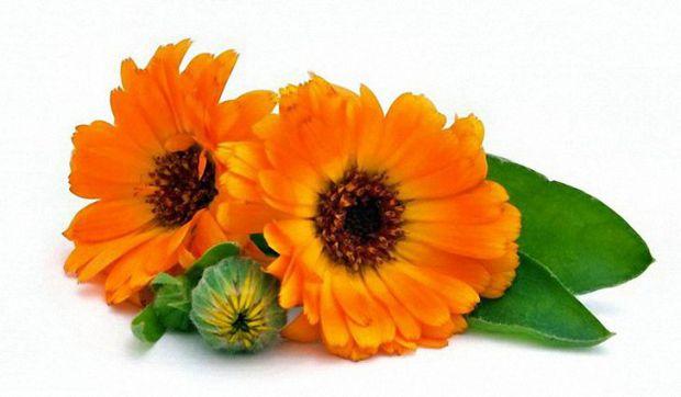 Календула - рослина, яка розводиться в садах, часто росте дико, прикрашає клумби і городи. Крім того, має лікувальні властивості.