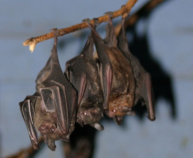 Фахівці назвали тих істот, які можуть переносити вірус бартонелли.