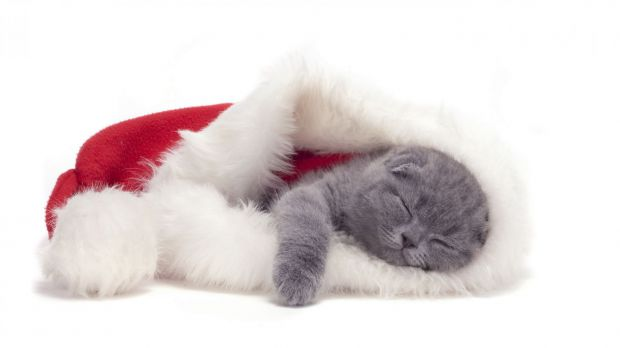 7368_animals___cats_small_scottish_fold_cat_is_sleeping_in_a_christmas_hat_0458_.jpg (16.24 Kb)