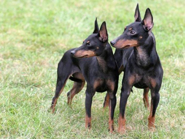 Як з'ясувалося, ті, хто боїться собак в більшості випадків і є їх потенційними жертвами.