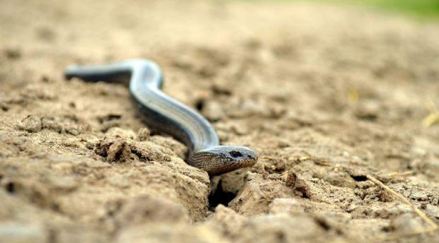 Літо - сезон ягід, відпочинку на природі, збирання грибів в лісах і змій. Що робити при зміїному укусі - читайте далі.