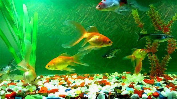 Алергія на акваріумних рибок - захворювання рідкісне, але все ж про нього потрібно знати.