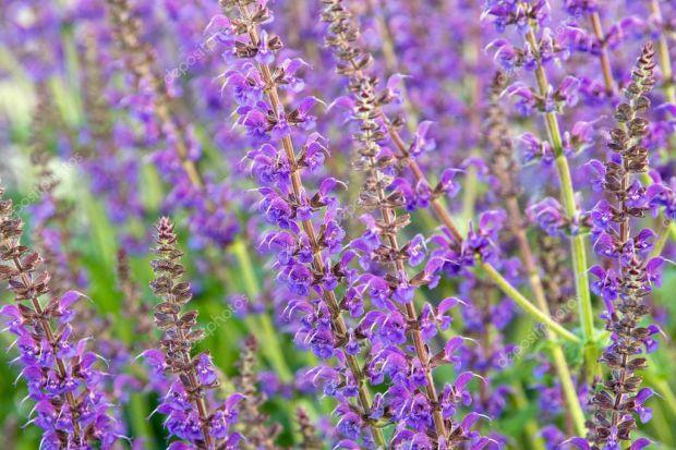 У народній медицині ця трава застосовується в багатьох випадках, деякі з них ми навели в матеріалі.