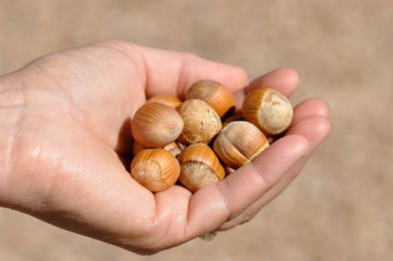 hand-full-of-hazelnuts-700x465.jpg