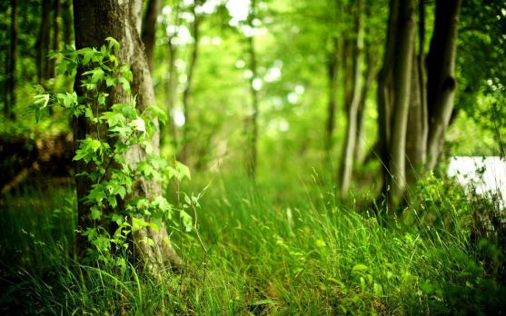 Що ж це за особливі трави і чому вони сприяють схудненню?Це такі трави: листя берези, листочки ожини і листочки мати-й-мачухи. У поєднанні між собою ц